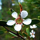 Tea Tree Flower by WeblightStudio