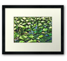 Lotus Blooms Among The Pads Framed Print