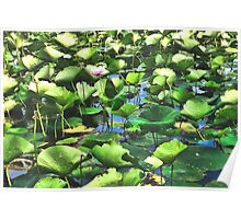 Lotus Blooms Among The Pads Poster