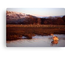 Cygnet at Shell Island,Llanfairfechan Canvas Print