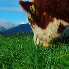 """""""a meal and a view"""" flagstaff hereford stud, south island, new zealand by rina  thompson"""