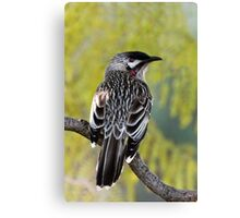 Young Adult Red Wattlebird Canvas Print