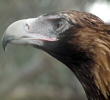 Portrait of The Australian Wedge Tailed Eagle by Bernie Stronner