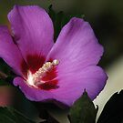 Rose Of Sharon by swaby