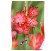 Searing Red Hesperantha Poster