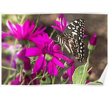 Black Butterfly on pink Flowers Poster