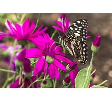 Black Butterfly on pink Flowers Photographic Print