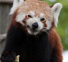 red panda by wendywoo1972