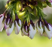 Blossom Flower Buds by Pixie Copley LRPS