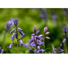 Bluebells in a Meadow Photographic Print