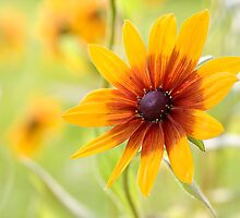 Rudbeckia sun by Mandy Disher