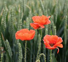 Poppies. by froglet
