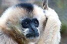 Indian Langurs Monkeys,  by Elaine123