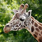 Giraffe, Longleat by LisaRoberts