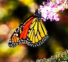 The Royal Monarch Butterfly by Korey Chandler