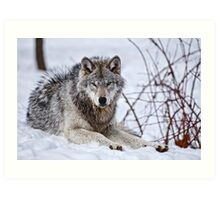 Timberwolf in Winter Art Print