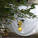 Lemon fresh laundry by Maggie Hegarty