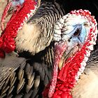 Narragansett Turkeys by Kimberly P-Chadwick