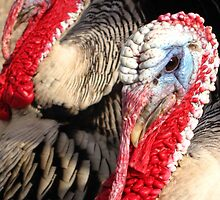 Narragansett Turkeys by Kimberly Chadwick