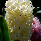 Hyacinth by Lozzar Flowers & Art