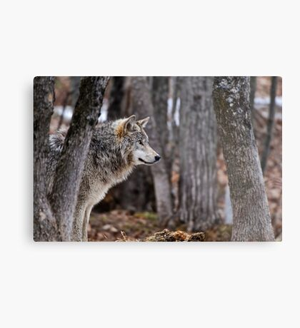 Timber Wolf in trees Metal Print
