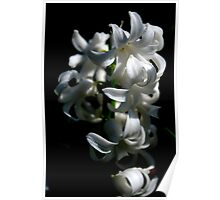Hyacinth deeply lit. Poster
