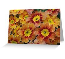 Spring fresh   -  Primula x auricula Greeting Card
