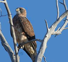 Swainson's Hawk by Arla M. Ruggles