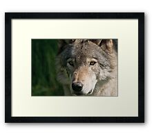Timberwolf - Acrylic painting treatment in PS3 Framed Print