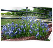 Blue Bonnets & Fence Poster