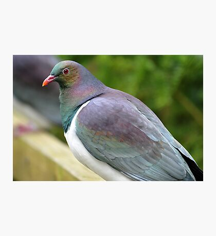 New Zealand Wood Pigeon At Haast Beach. South Island. Photographic Print