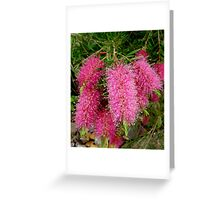 Pink Bottle Brush, Australia Greeting Card