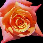Garden Pleasures - Orange/Pink Rose by Mariaan Maritz Krog Photos & Digital Art