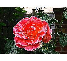 Rose's are Red, My Love.  Photographic Print