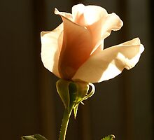 Rose in a vase from my garden by Reneefroggy