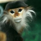 Red-shanked douc langur  by Linda Long