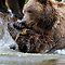 (Land Mammals Category) - Family - Ursidae - Bears