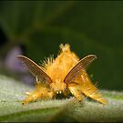 Yellow Tussock Moth by Helenvandy