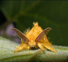 Yellow Tussock Moth by Helenvandy