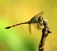 Dragonfly on Perch IV by Amran Noordin