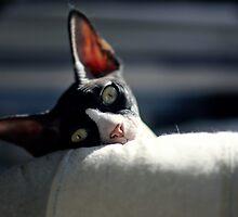 Sphynx cat by Stephane Boyer