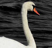 Swan by Carrie Blackwood