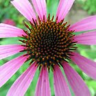 purple coneflower by Leeanne Middleton
