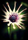 African daisy  by Joshua Greiner