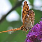 Silver Washed Fritillary   (Argynnis paphia) by relayer51