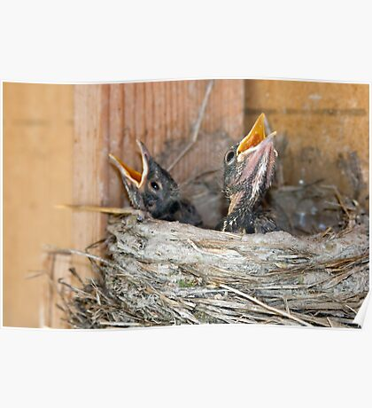 Baby Robins in nest Poster