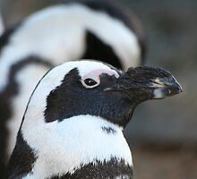 Black-footed Penguin  by BeckiBee