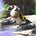 Goldfinch (Carduelis carduelis) by RCTrotman