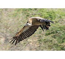 White backed vulture in flight Photographic Print
