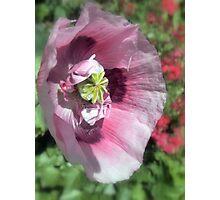 Precious Poppy Photographic Print